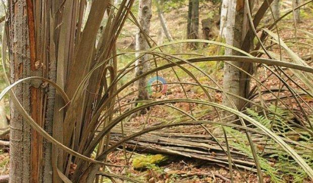 В Карпатах заметили загадочное расщепление деревьев (фото)