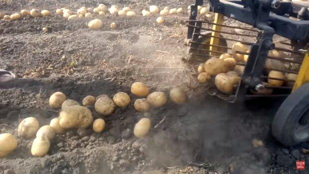 Правильне зберігання картоплі, скріншот Youtube