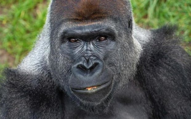 Техасская горилла научила тусовщиков правильным движениям
