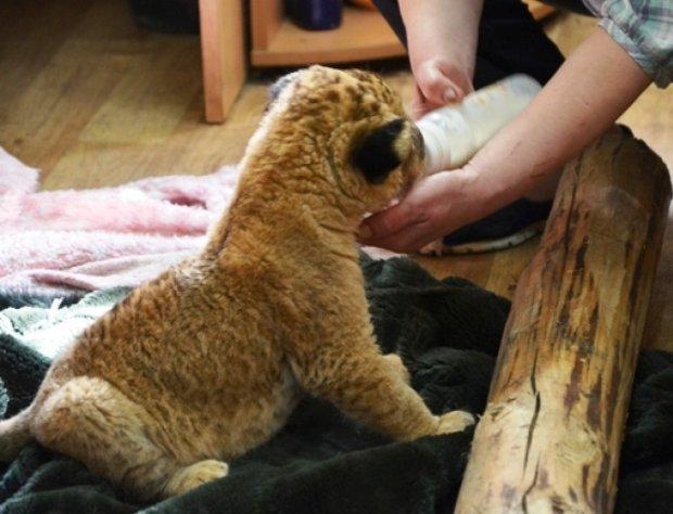 Живодери притягли живе левеня на дитяче свято: від його змученого виду у дітей розривалося серце