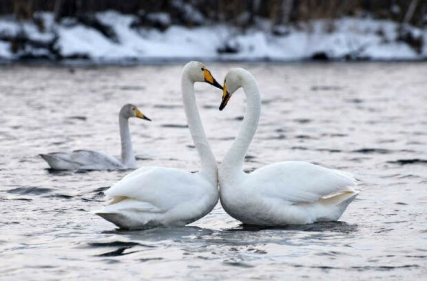 Получили свободу и жизнь: под Киевом спасли от гибели стаю прекрасных птиц