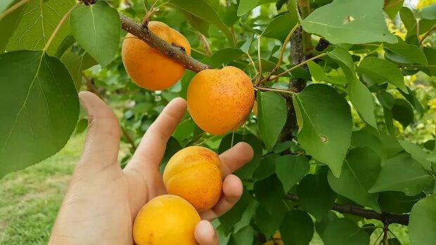 Травневі заморозки в Україні знищили урожай - доведеться забути про улюблені фрукти