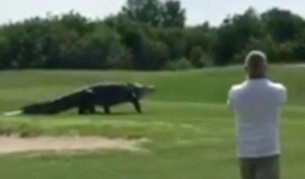 Гігантський алігатор вибіг на поле для гольфу