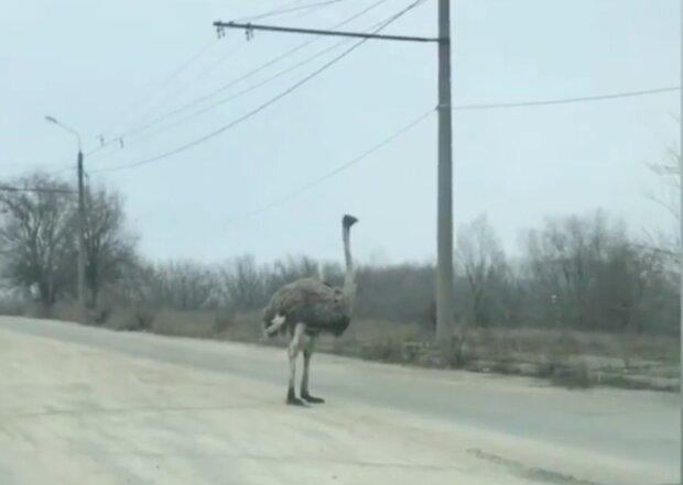 """Прогулка страуса по украинской дороге всполошила водителей: """"Как дома"""""""