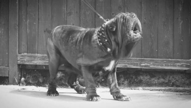Американець воскресив породу гігантських собак, які 7000 років тому охороняли давніх правителів