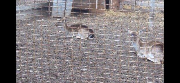 """Запорожский зоопарк показал первые шаги новорожденного """"Бемби"""" - трогательные кадры"""