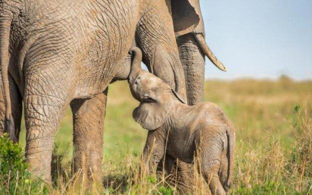 Очень мило: как взрослые слоны спасали тонущего детеныша