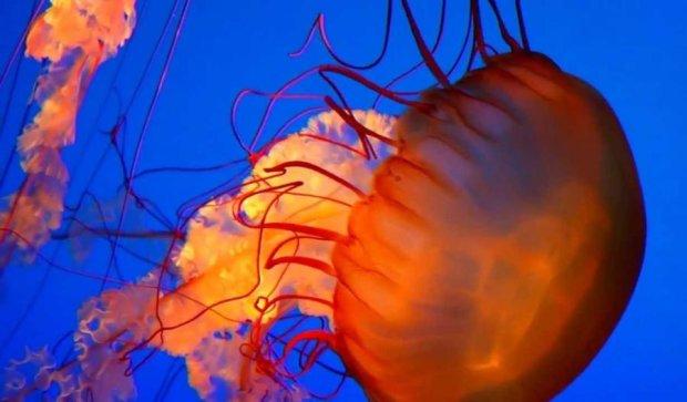 Учені зняли, як жалять медузи (ВІДЕО)