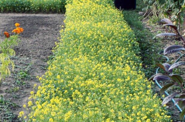 Гірчиця, фото: Квітучий сад / Телеграм