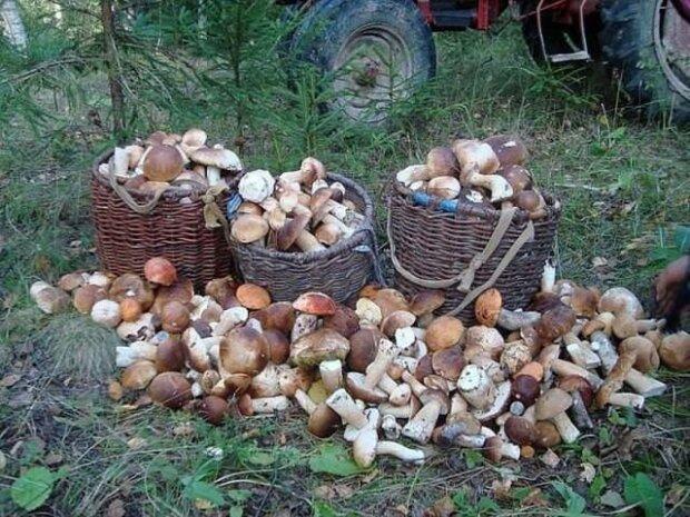 """Вывозят телегами: прикарпатцы похвастались грибным """"уловом"""", фото"""