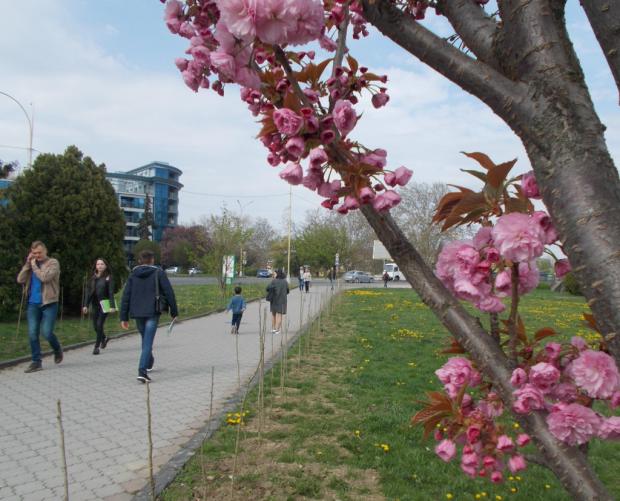 В Украине зацвела сакура: тысячи туристов спешат увидеть чудо природы