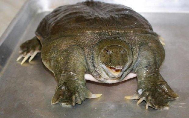 Черепаха-самогубця знищила дорогу машину