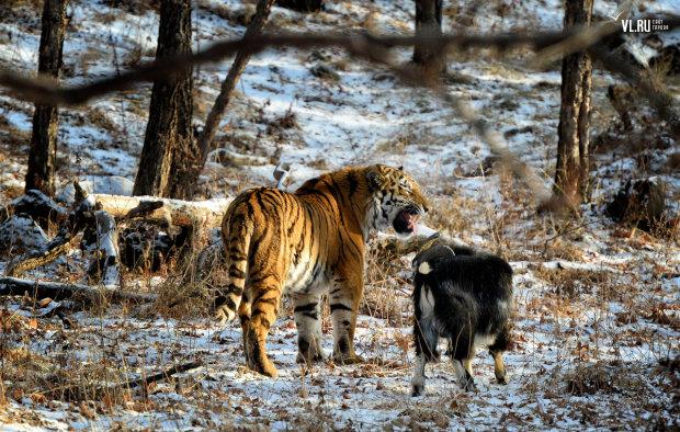 Любвеобильный тигр устроил трэш в зоопарке: изнасиловал козла, а потом закусил им