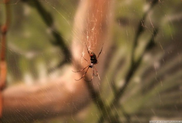 Австралійські вчені виявили корисні властивості  отрути павуків