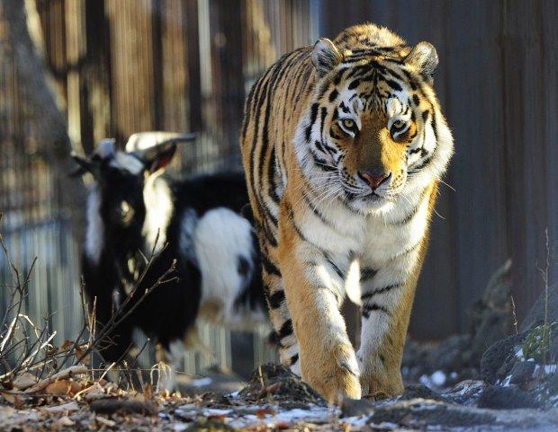 Тигр изнасиловал и загрыз козла на глазах у посетителей с детьми: Треш в ялтинском зоопарке