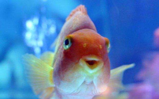 Неожиданно: ученые разгадали тайну золотых рыбок