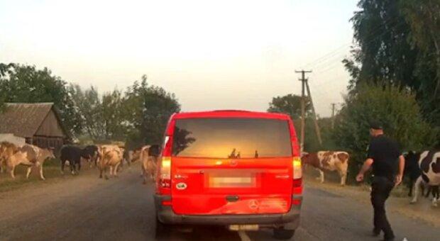 Под Житомиром стадо коров остановило машину нарушителя