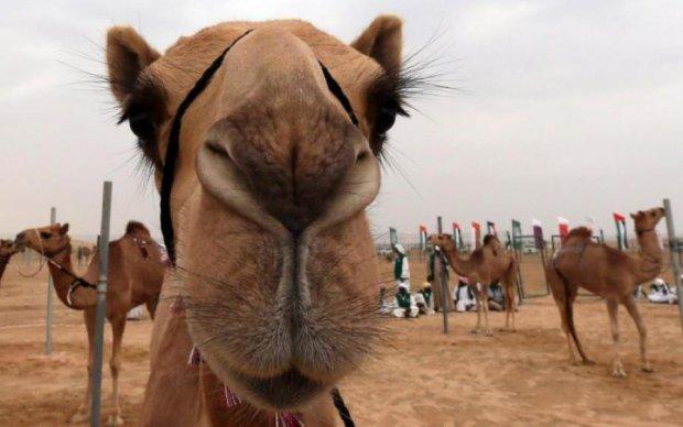 И не возвращайтесь: саудиты выдворили катарских верблюдов