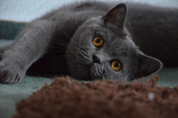 Очень упитанная кошка устала от скитания и ищет хозяев: она немного сварливая, но с потерей веса и обретением дома все может измениться