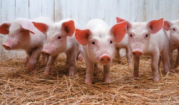В Китае вывели генно-модифікованих свиней без сала