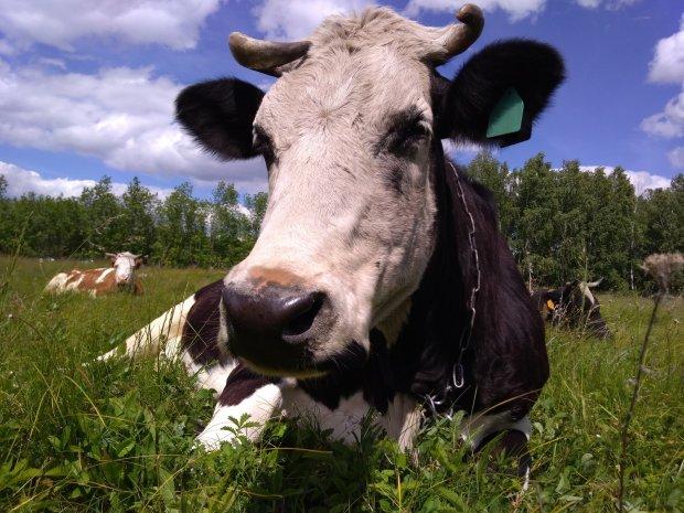 Тернополянин научил корову добывать ему пропитание, но есть один жизненноважный нюанс