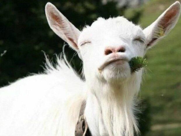 """Миссис """"Ме-е-е"""": под Днепром выбрали самую красивую козу"""