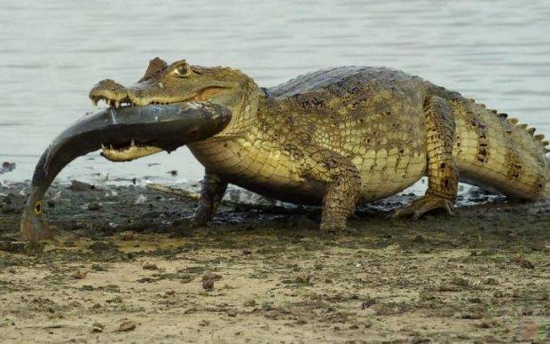 Нахабний крокодил безпардонно спіонерив улов рибалки: відео