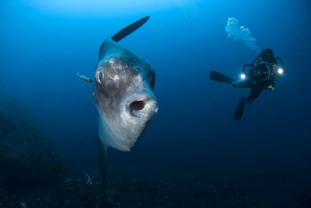 Світ облетіли вражаючі кадри риби-гіганта, яка досягала у довжину неймовірних розмірів
