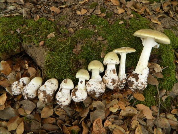 Найотруйніший у світі гриб заполонив Європу: вже є перші жертви