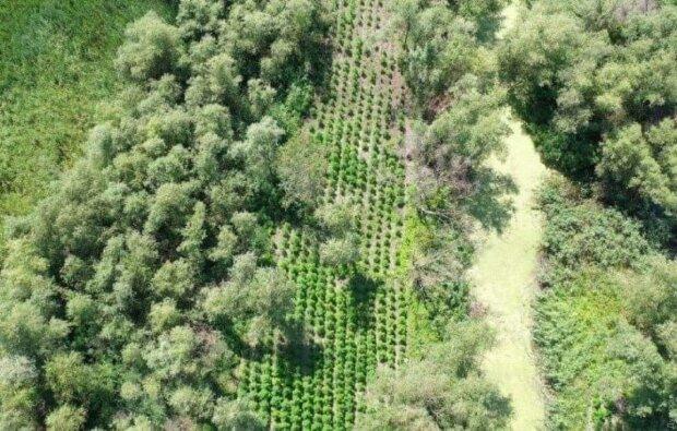 Урожай-хохотунчик: на Одесщине случайно обнаружили плантацию конопли на 40 миллионов