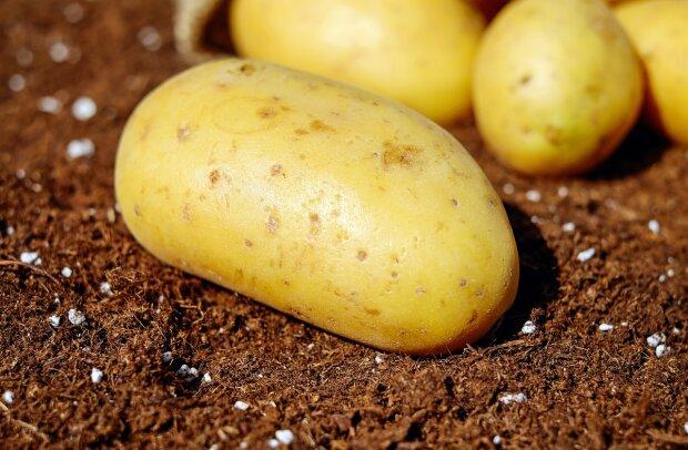 картопля / фото: Pixabay