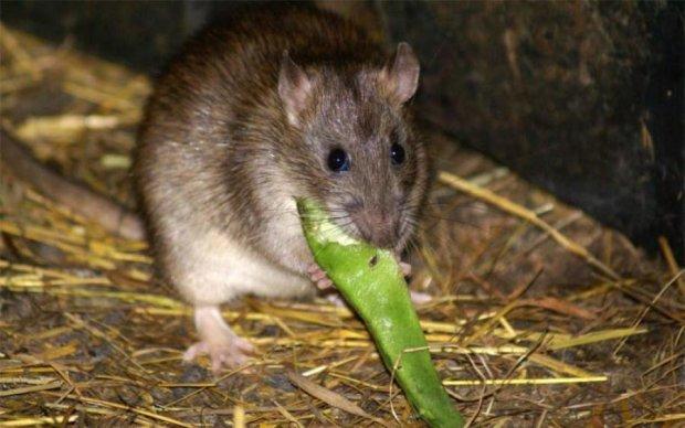 Слабонервным не смотреть: миру показали самую большую крысу