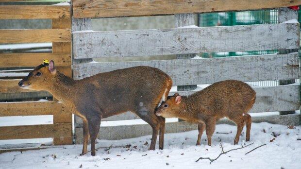 олени-мунтжаки, фото Фельдман Экопарк