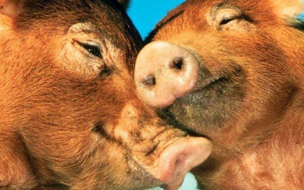 Герой з п'ятачком: свиня врятувала родича від м'ясника