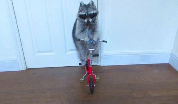 Кумедний єнот навчився їздити на велосипеді (відео)