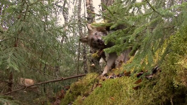 ліс, вовки, звірі \\ скріншот з відео
