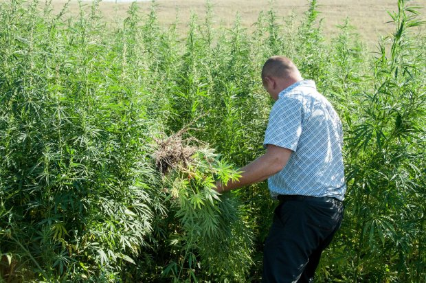У Верховній Раді підтримали легалізацію марихуани: під кайфом