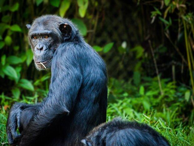 Біологічна зброя проти США? Вчений спробував схрестити мавпу з радянською жінкою