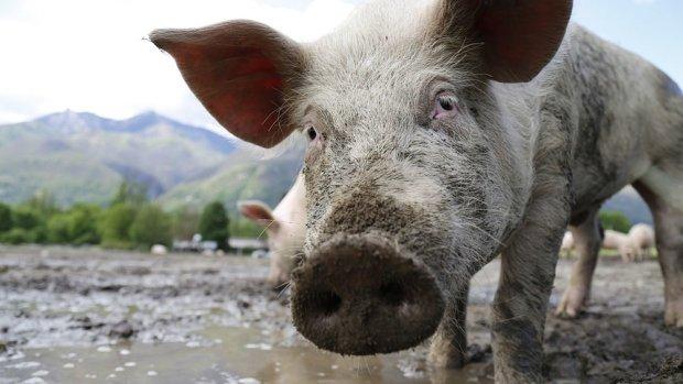 Оскаженіла свиня вкусила модель за інтимне місце: відео