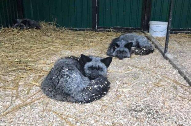 Чорнобурі лисиці / фото: Орест Заліпський