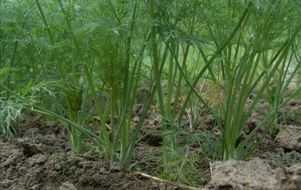 Вирощування кропу, скріншот: YouTube