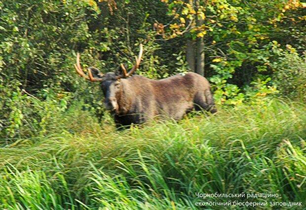 Лось, фото Віктор Каучинський: Facebook Чорнобильський радіаційно-екологічний біосферний заповідник