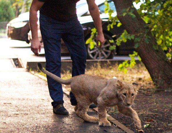 У центрі Харкова помітили справжнього лева і його мучителя: в зубах сигарета, в очах тупість