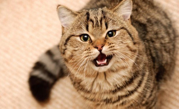 Товстий кіт