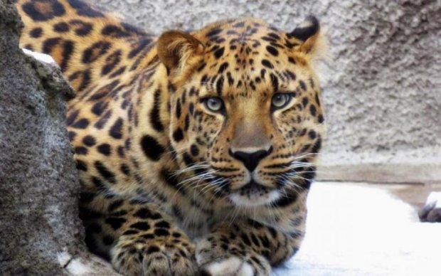 На секунду отвлеклись: в России леопард загрыз ребенка