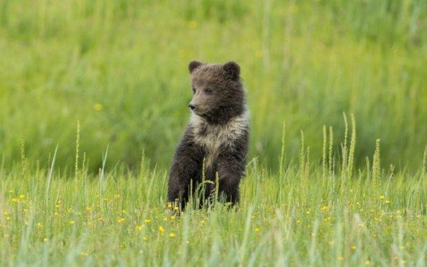 В России медвежонок научился просить милостыню у водителей: видео
