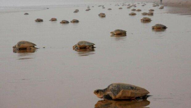"""Редкие черепахи захватили пляж: """"Впервые за всю историю"""""""