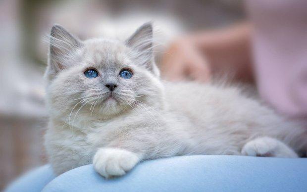 Топ-10 найкращих порід кішок для дому: ці красиві і слухняні пухнастиків принесуть вам саме щастя