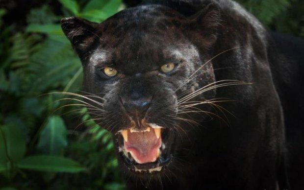 Ученые рассказали, как хищники становятся людоедами