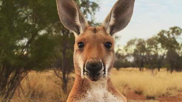 Особливі прикмети - сумчастий: в Данії поліція оголосила в розшук кенгуру